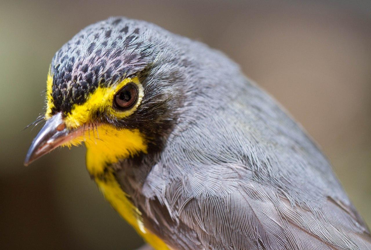 Canada Warbler (Photo credit: Jared Fuera)